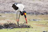 stock photo of stork  - Saddle billed stork hunting for frogs in a pond - JPG