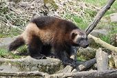 image of wolverine  - wolverine walking around in its natural habitat - JPG