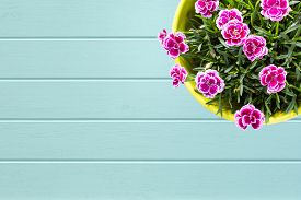stock photo of carnations  - Turquoise wooden planks background with Top view of purple Berry mini carnation dianthus flower with water drops in the colorful flower pot - JPG