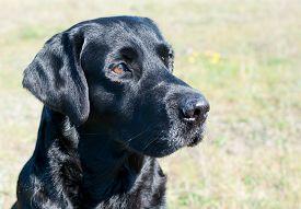 picture of labrador  - Close up of black labrador dog outdoors - JPG