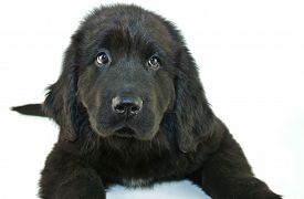 picture of newfoundland puppy  - Close up of a very cute Newfoundland puppy looking to the left or looking guilty of something - JPG