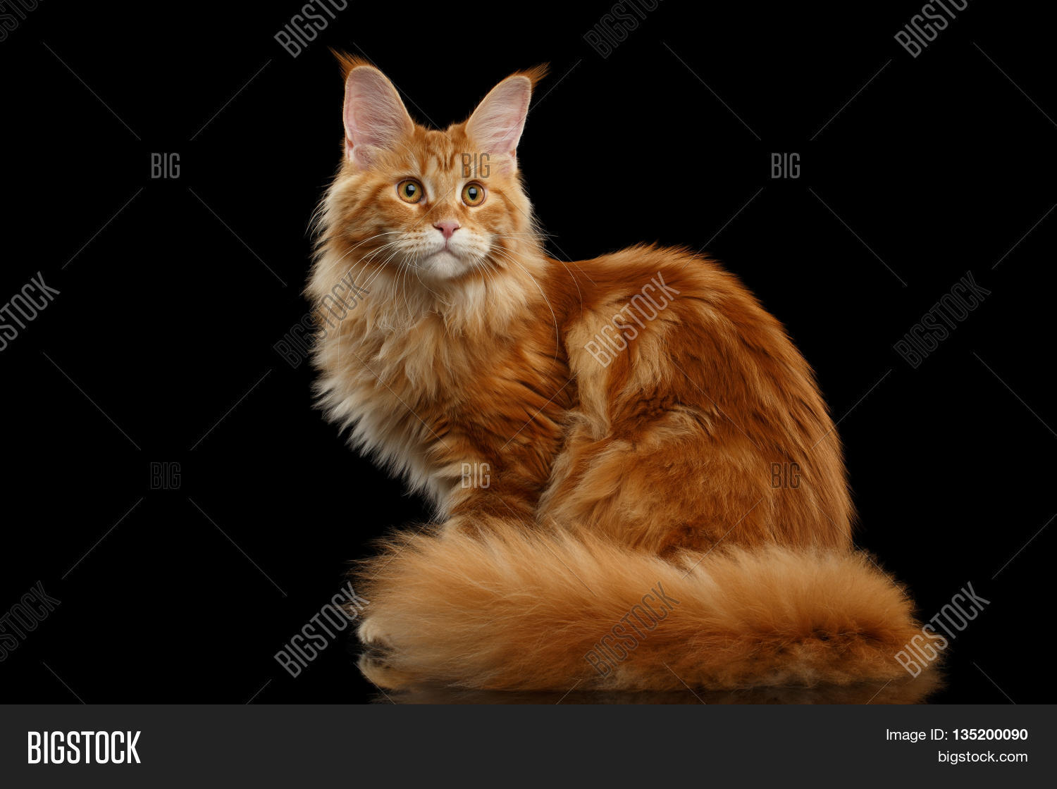 Beautiful Red Maine Coon Tabby Cat Image Amp Photo Bigstock