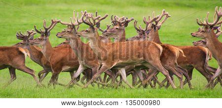 Herd of red deer running through a field