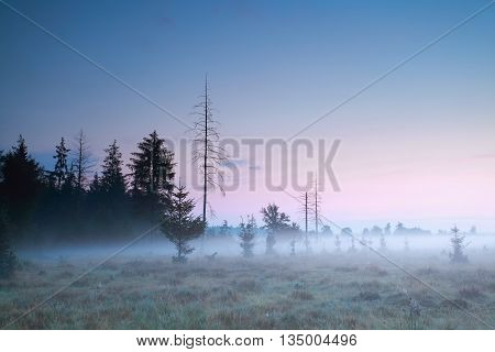 coniferous forest at misty summer at sundown