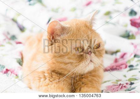 by The baking man in Photos  Animals Exotic ginger cat - Animals Exotic ginger cat sitting on bed with serious face. Funny persian cat