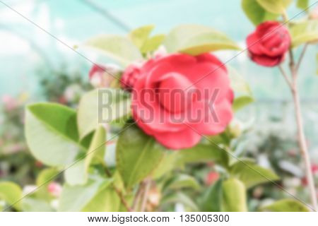 Defocused Background Of Beautiful Red Camellia Flowers Inside A Greenhouse