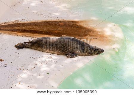 Brown Fur Seal Sleeping At The Zoo