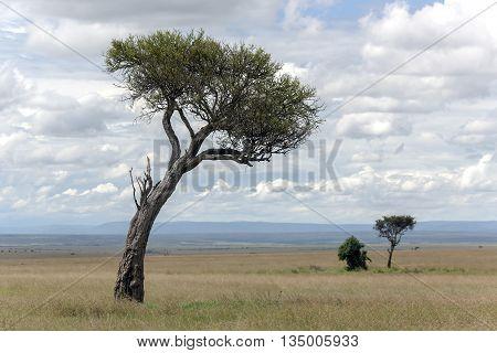 Rare trees of the genus acacia on background of puffy clouds in savannah reserve Masai Mara, Kenya, Africa