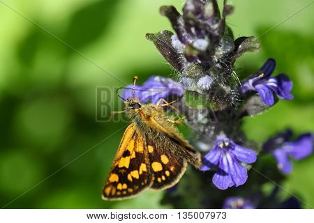 A Chequered skipper or Arctic skipper (Carterocephalus palaemon)
