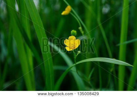 Buttercup - small yellow flower in the grass