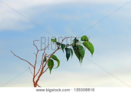 Branch of lemon tree with green leafes on blue sky background taken closeup.