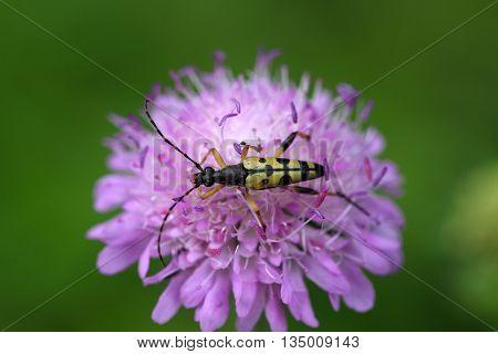 Spotted Longhorn beetle (Strangalia maculate) on a flower.