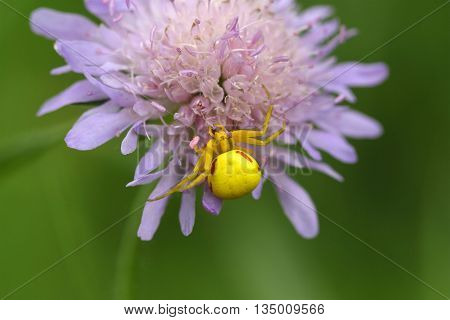 A goldenrod crab spider or flower crab spider (Misumena vatia)