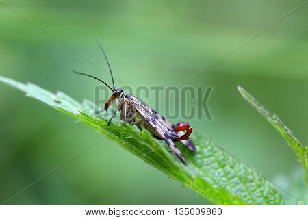 Macro of a common scorpion fly (Panorpa communis)