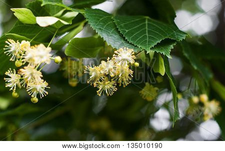 blossoming linden branch in sunny  june day