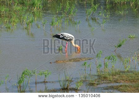Crocodile and bird marabou in the middle of the lake. Sri Lanka