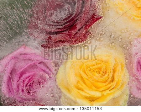 Bright abstraction with frozen red roses yellow pink and red hues frozen in clear water with air bubbles