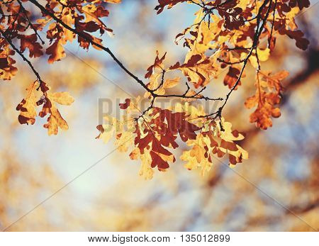 Autumn oak leaves on branches in a Sunny day.