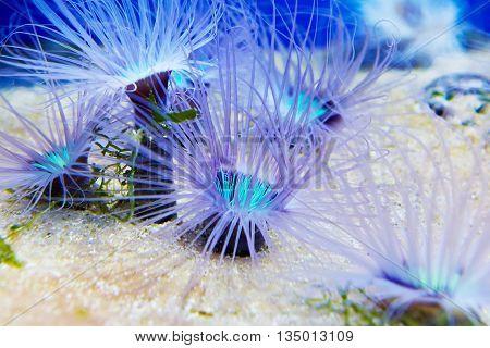 The blue anemones in a large oceanarium