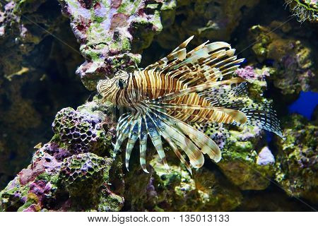 Poisonous Lionfish On Coral In Blue Water Sea