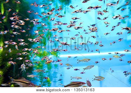 Flock Of Rasbora Trigonostigma Heteromorpha In Aquarium