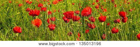 Red Poppies on green field.Beautiful poppy field background.