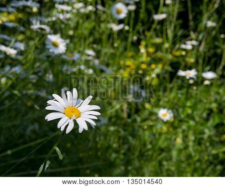 White Daisy With Blurred Daisies Meadow Background