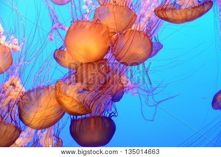 Orange jellyfish floating and swimming in the blue ocean