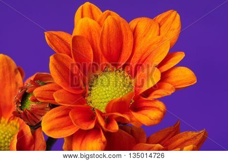 Floral arrangement isolated over a purple background