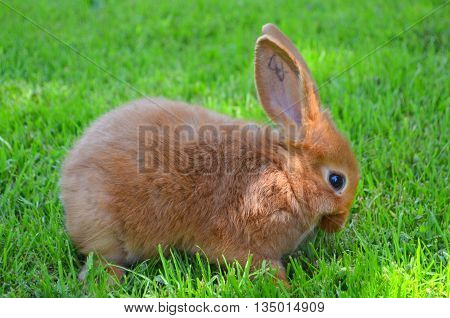 The little orange rabbit on the lawn of the New Zealand breed eats grass background