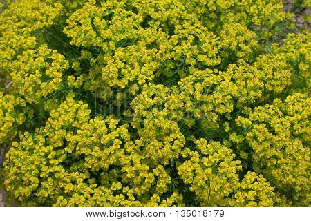 background cypress spurge. Green plant with small yellow flowers at the top