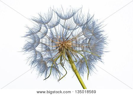 Dandelion isolated on white background close up