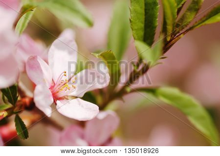 Nature background almond blossoms and leaves on the tree branch soft focused with shallow depth of field