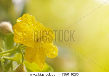 Yellow greater celandine flower covered by water drops after rain against blurred background closeup with shallow depth of field have place for text