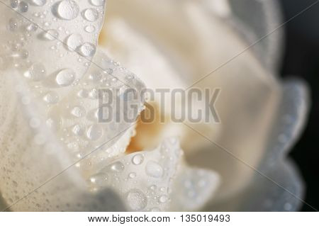 Floral background white rose flower petals covered by water drops after rain extreme closeup with shallow depth of field