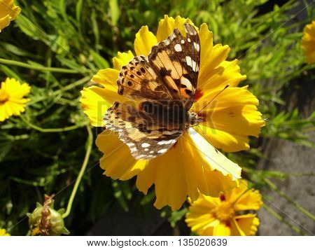 Vanessa cardui (painted lady) butterfly on a yellow sunflower flower.