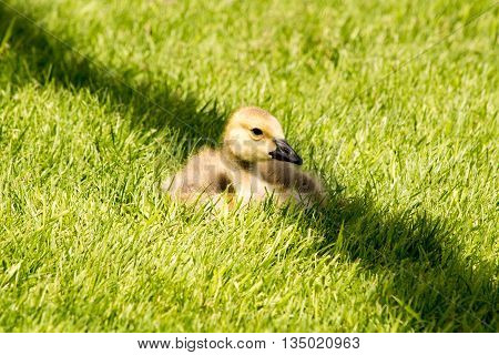 a Canada Goose Gosling sitting in green grass in the shadow of a lamp post in Edmonton, Alberta, Canada