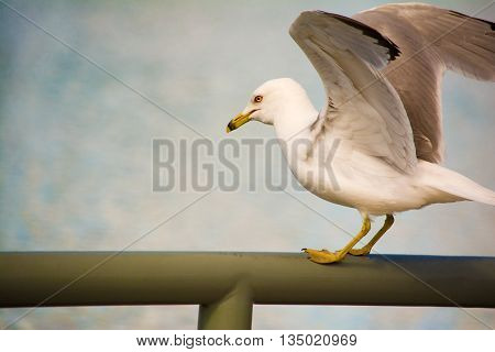A ring-billed seagull standing on a railing with its wings spread apart in Edmonton, Alberta, Canad