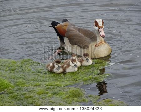 Ducks and duckling chicks upon lake photographed at Hopton On Sea in Norfolk