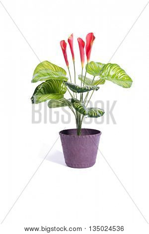 Red flowers in pot isolated on white background