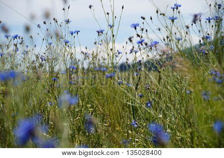 Blue cornflower in filed close up with sky on background