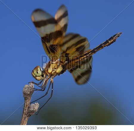 Green and brown eyed dragonfly carrying eggs and sitting on a stick