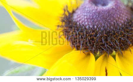 Very close look at the interior of a black eyed Susan flower