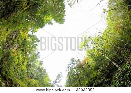 Huge trees on sky background. Picturesque Carpathian landscapes
