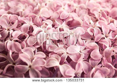 Beautiful pink lilac background