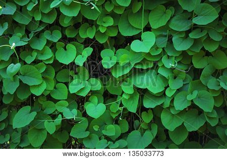 Beautiful green leaves background