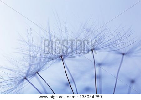 Dandelion on light background, macro