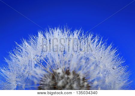 Dandelion on blue background, macro