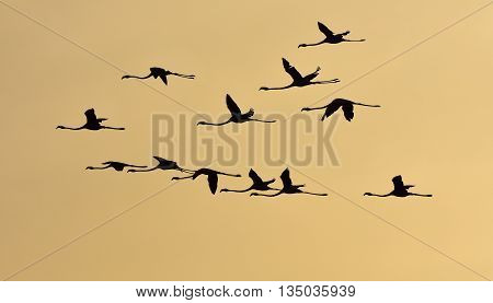 Flamingos flying at sunset. Bird flying in silhouette.