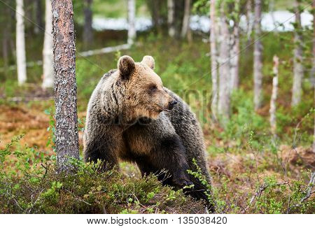 Brown bear looking for food in Finnish forest